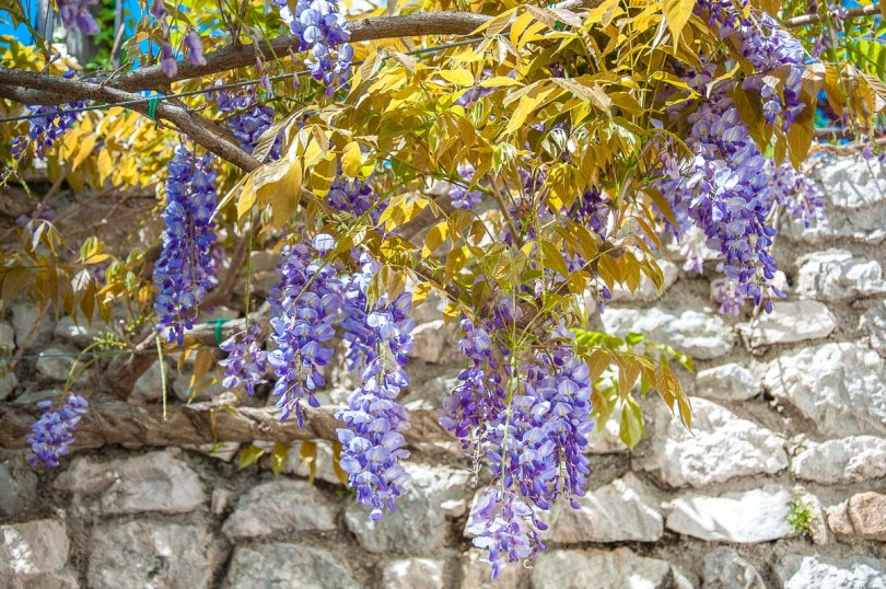 Blooming wisteria with the medieval defensive wall - Venzone, Italy - rossiwrites.com