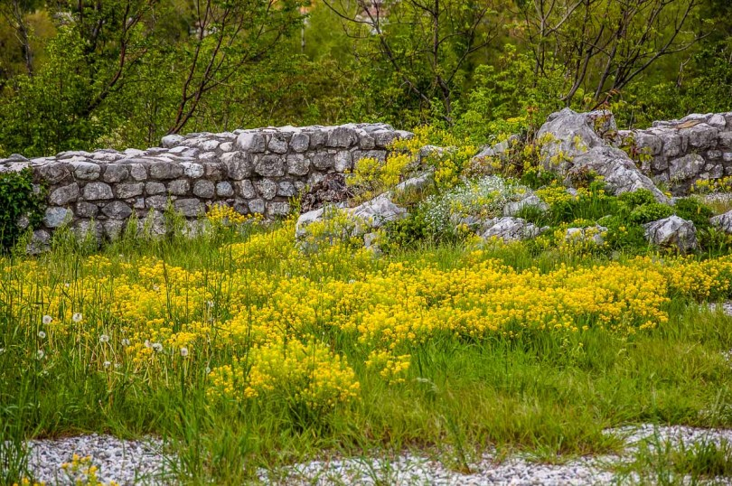 The ruins of Venetian fort covered with bright yellow flowers - Venzone, Italy - rossiwrites.com