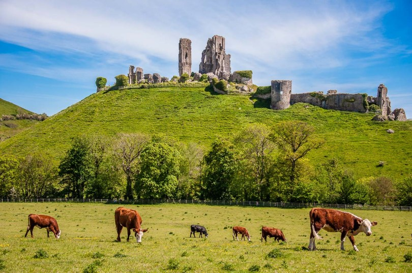 Corfe Castle with grazing cows - Dorset, England - rossiwrites.com