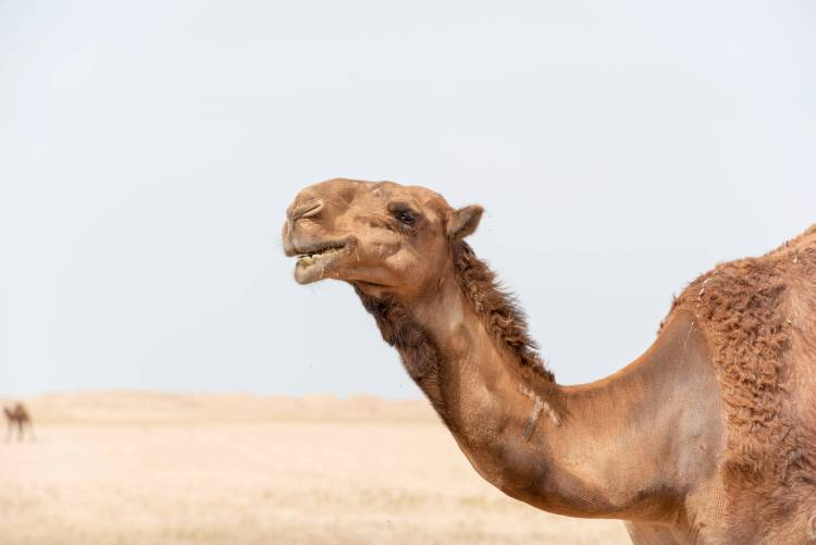 close up of brown camel