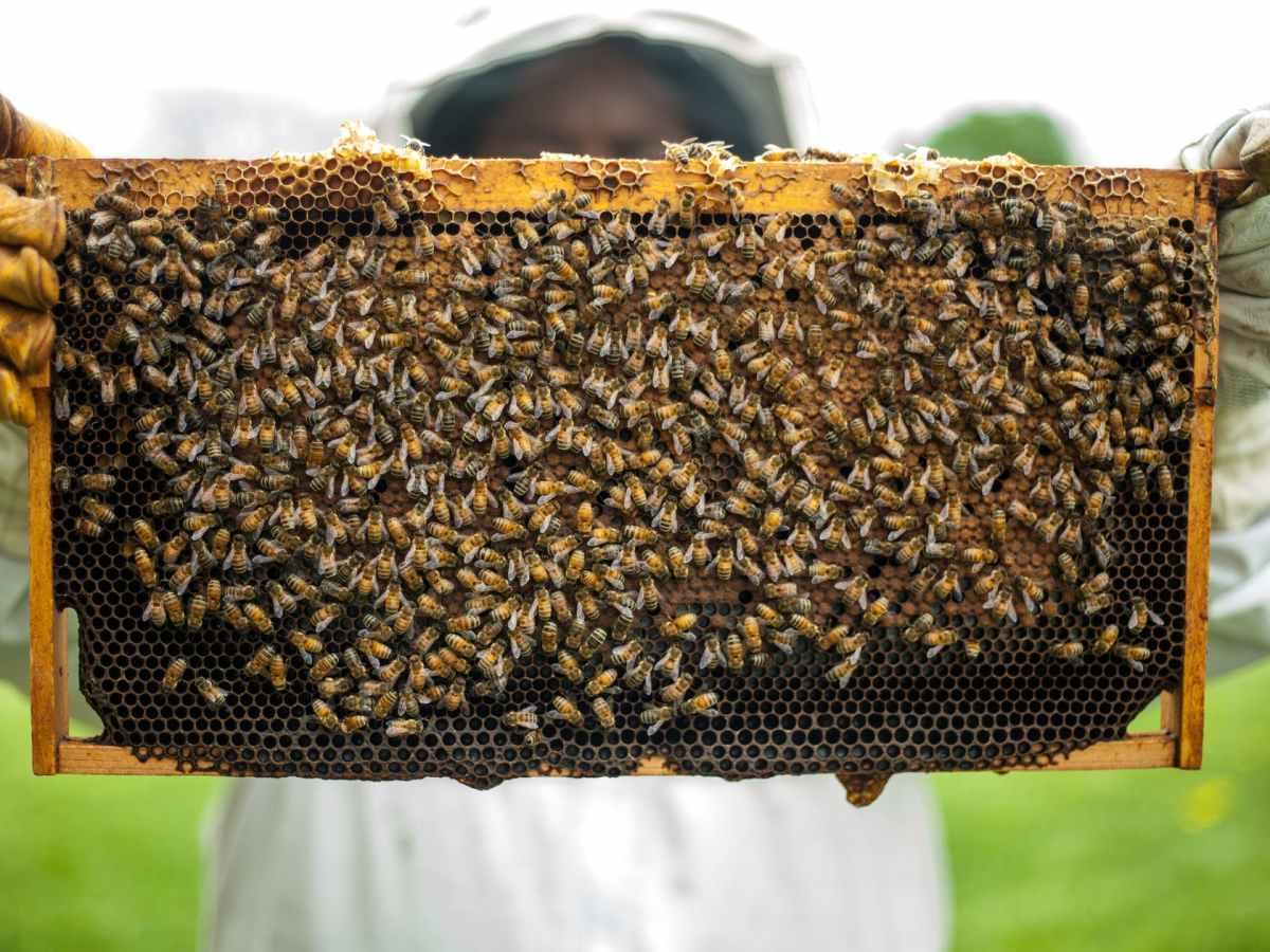 person holding honeybomb with honeybee