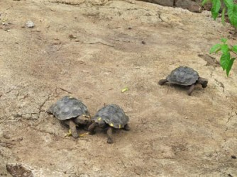 tortoise_breeding_1