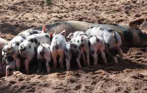 hog reproduction rates