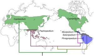 Source: Guo et al 2012 PLOS ONE. Evolution and Biogeography of the Slipper Orchids: Eocene Vicariance of the Conduplicate Genera in the Old and New World Tropics