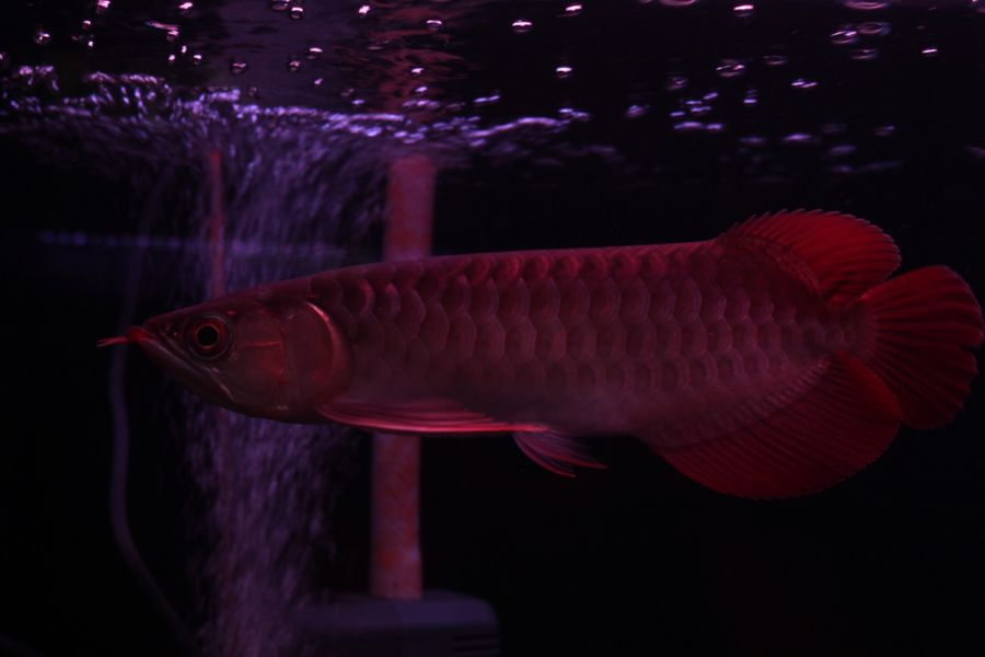 ImperialArowana Imperial Red±25  SOLD