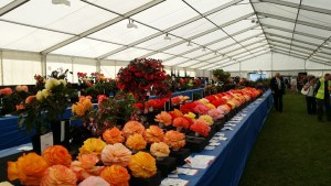 ayr flower show begonias