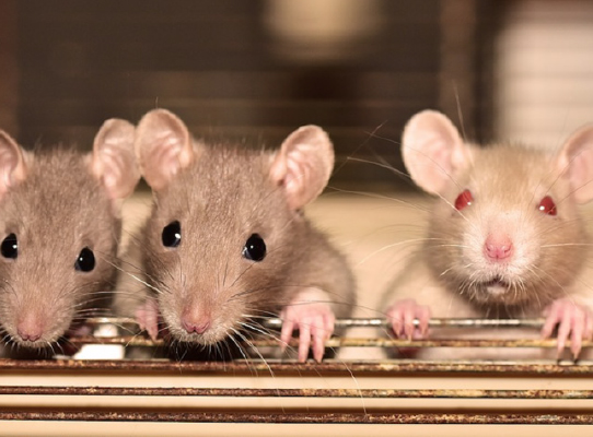 Japan to create human-rodent hybrids for organ transplant Japan Government's Science Ministry has granted scientists permission for research to create animal-human hybrids whose organs can be harvested for people to use. Japanese stem cell scientist Hiromitsu Nakauchi, who is leading researchers at the University of Tokyo and Stanford, plans to place human cells inside mouse and rat embryos and develop animal-human hybrids with organs that can be transplanted into human patients.