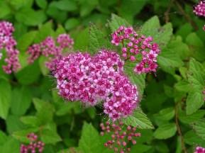 Mandrogi'nin çiçekleri