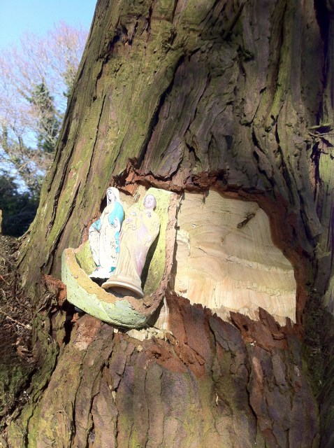 Saw this where the bough of a tree had been cut in Aghowle cemetery