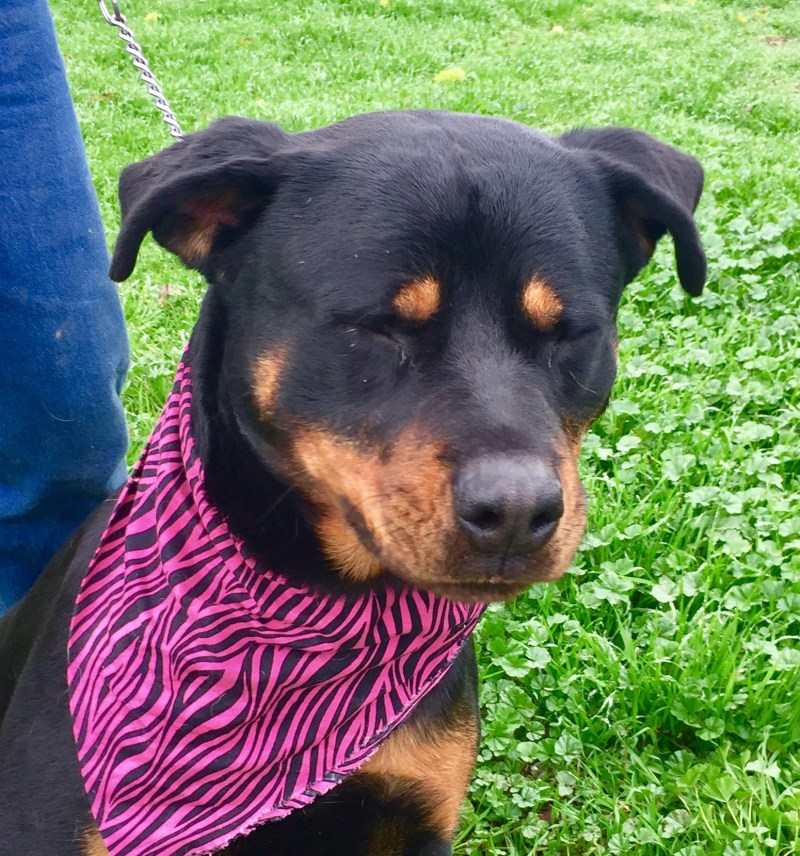 Incredible Rottweiler Years Female Adoptable Dogs Difference Between