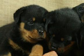 Rottweiler puppy love