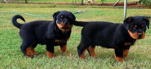 Rottweiler Puppy New 04