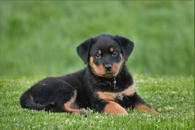 Rottweiler Dog Breed Grooming, Food, Training & More Information