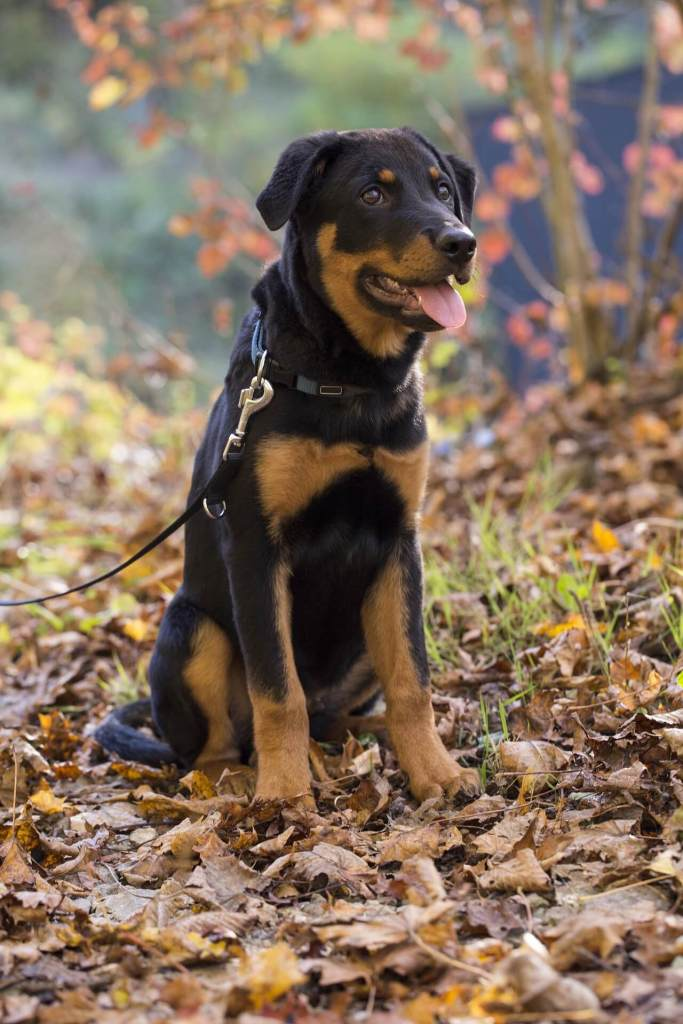Different Types Of Rottweilers Dog Around The World