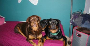 Types of Rottweilers dog