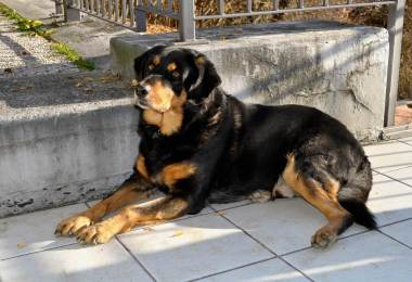 Rottweiler Temperament And personality Explained