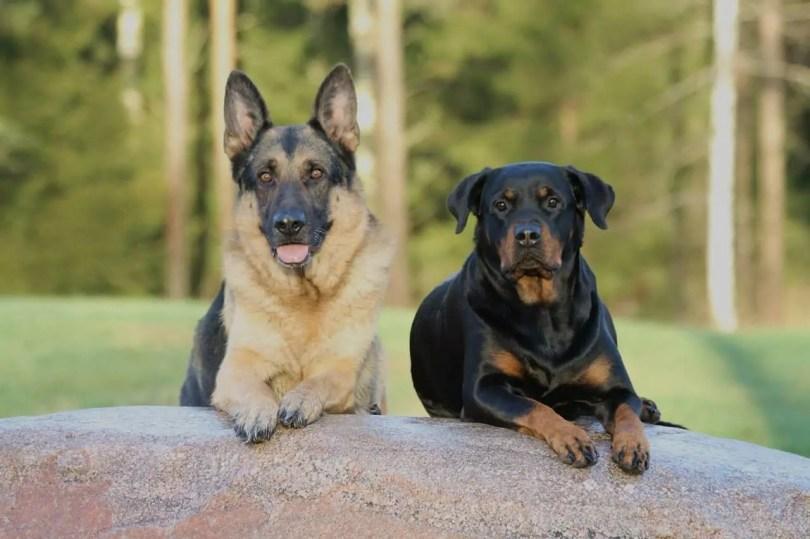 German Shepherd Rottweiler Mix