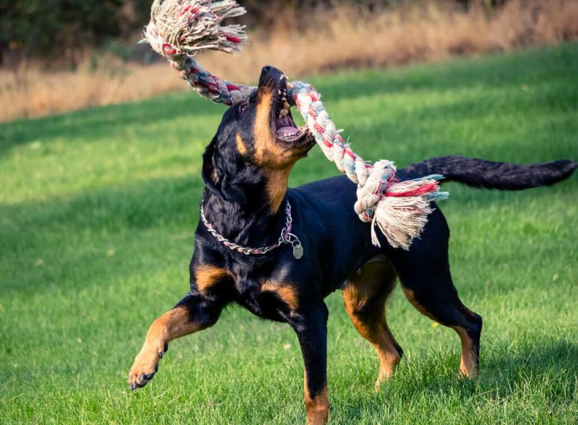 Best ways to teach Rottweiler to speak