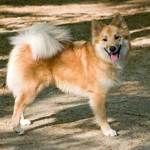 Icelandic Sheepdog Mountain Dog Breeds