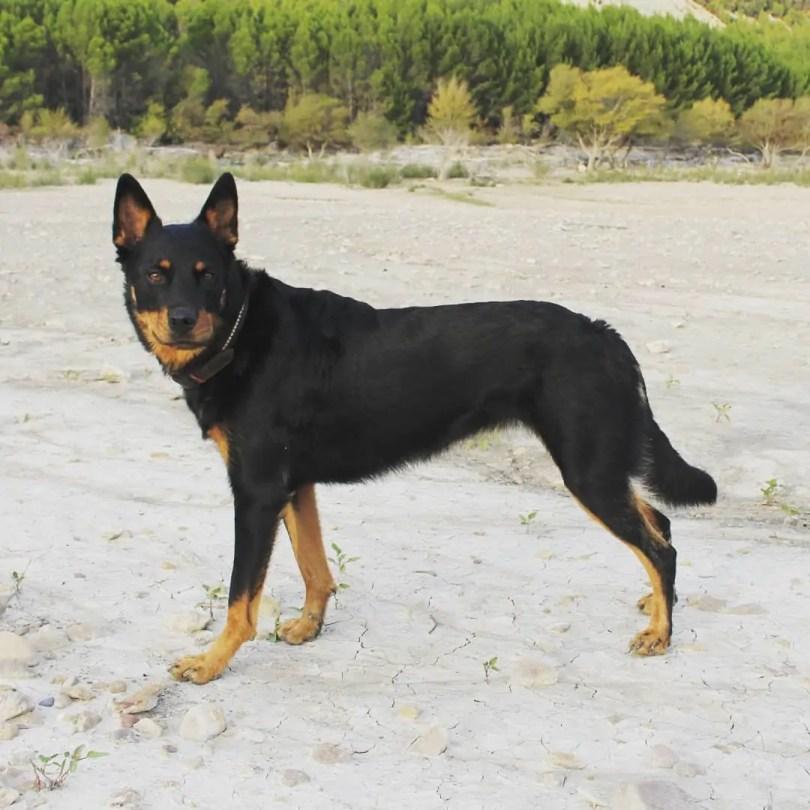 German Shepherd Rottweiler mix breed dog