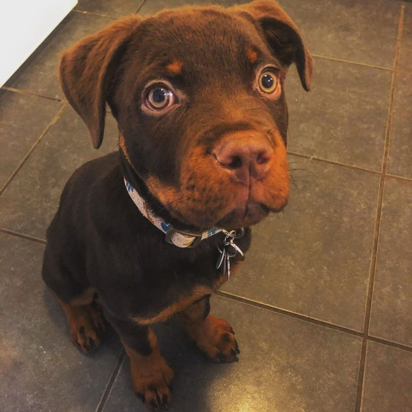 Cute Red Rottweiler Dog