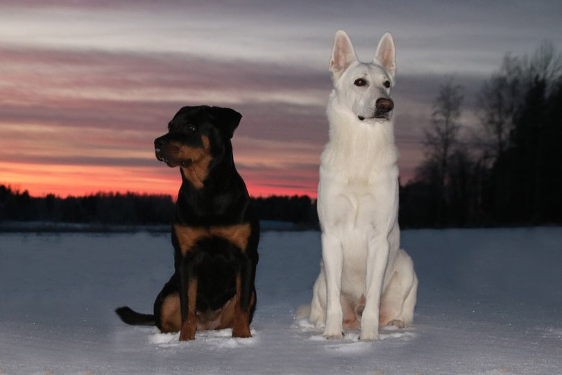 White Rottweilers Or Albino Rottweilers