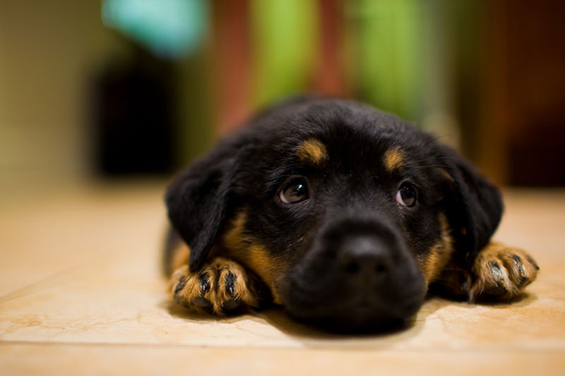 5 Healthy Diets For A Rottweiler To Gain Weight