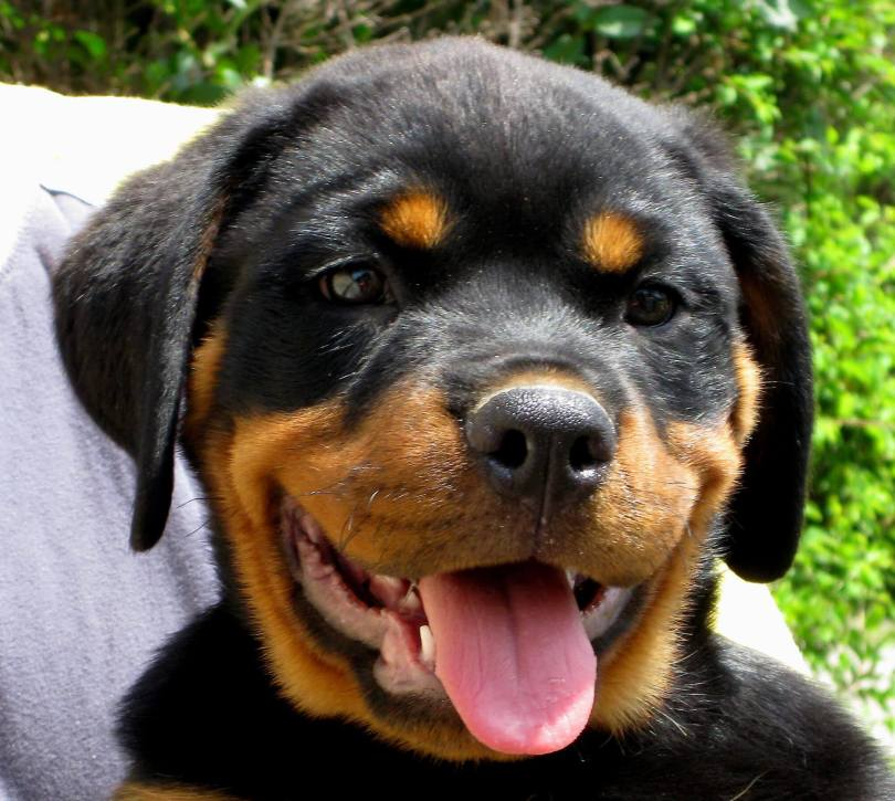 How To Take Care For A Rottweiler Puppy And Adult Rottweiler