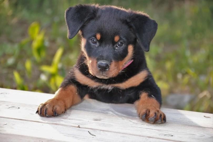 Cómo cuidar a un cachorro de Rottweiler y un Rottweiler adulto