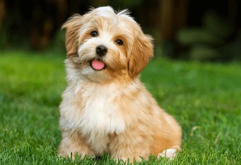 Havanese small dog breeds