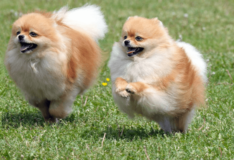 Pomeranian small fluffy dog breeds