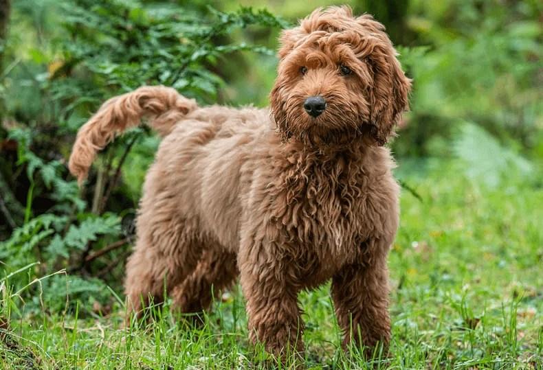 Cockapoo fluffy dog breeds
