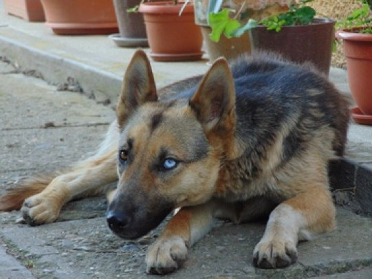 8 Fascinating and Charming Blue eyed Dogs German Shepherd