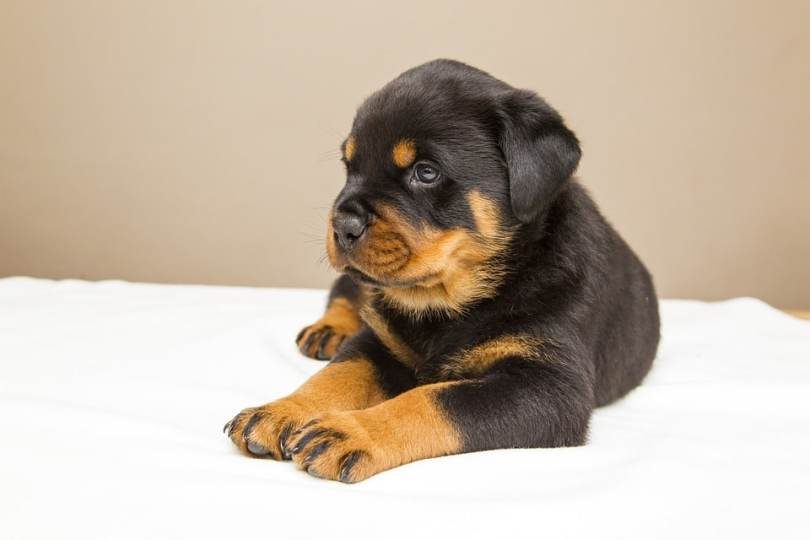 9 Exciting And Super Fun Exercises For Rottweiler