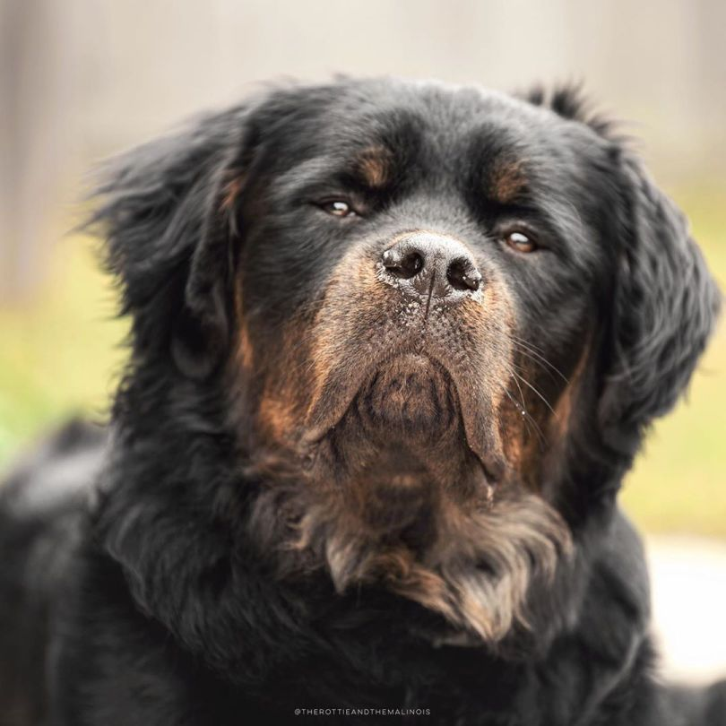 An Astonishing And Beautiful Long Haired Rottweiler