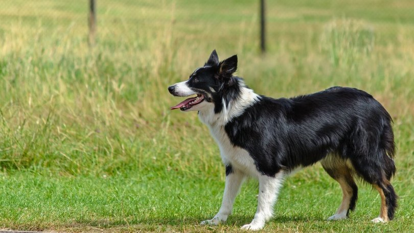 Border collie dog temperament and information