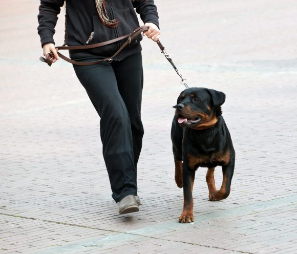 Tips To Stop Rottweiler From Pulling On The Leash