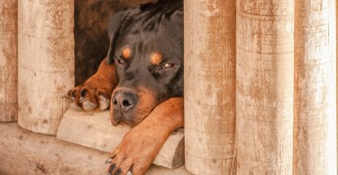 Can Rottweilers be left alone