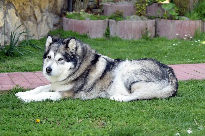 Alaskan Malamute Big fluffy dog breed