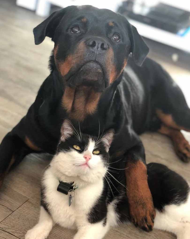 Do Rottweilers Get Along with Cats