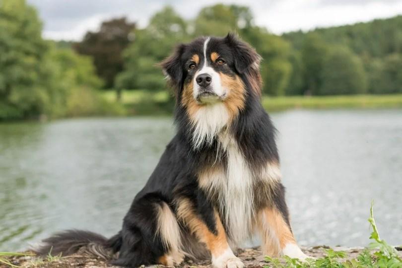 Australian Shepherd Big fluffy dog breed