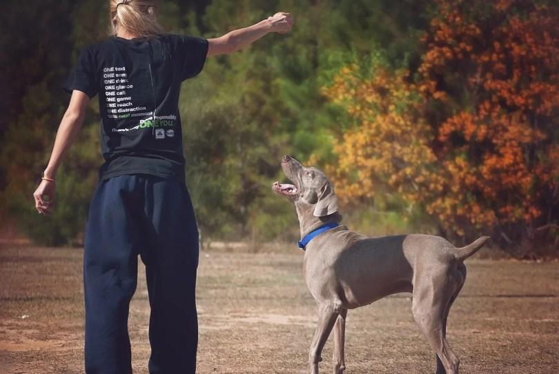 Weimaraner Dog Breed Information, Pictures, Characteristics