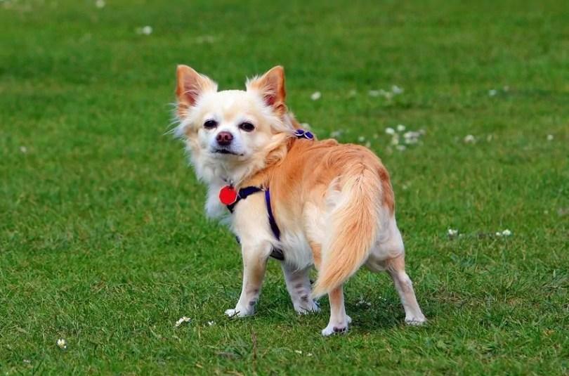 Chihuahua small fluffy dog