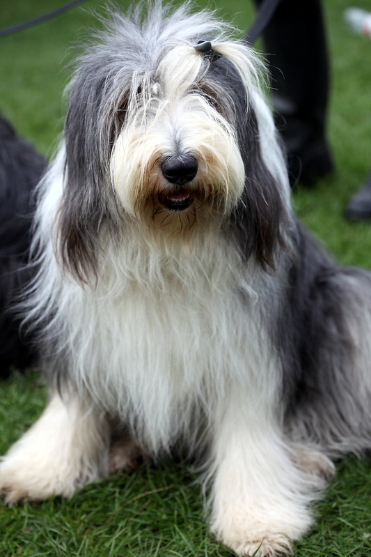 Old english sheepdog Big fluffy dog breeds