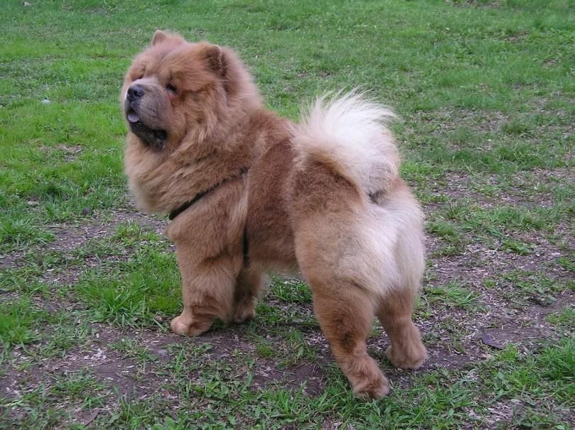 Dog Chow Chow Animal Dog Breed Domestic Pet