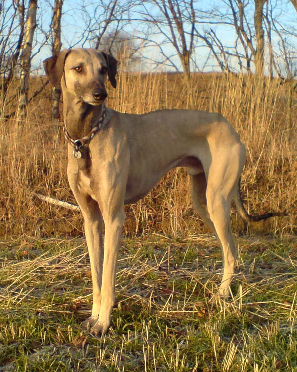 African dogs breed