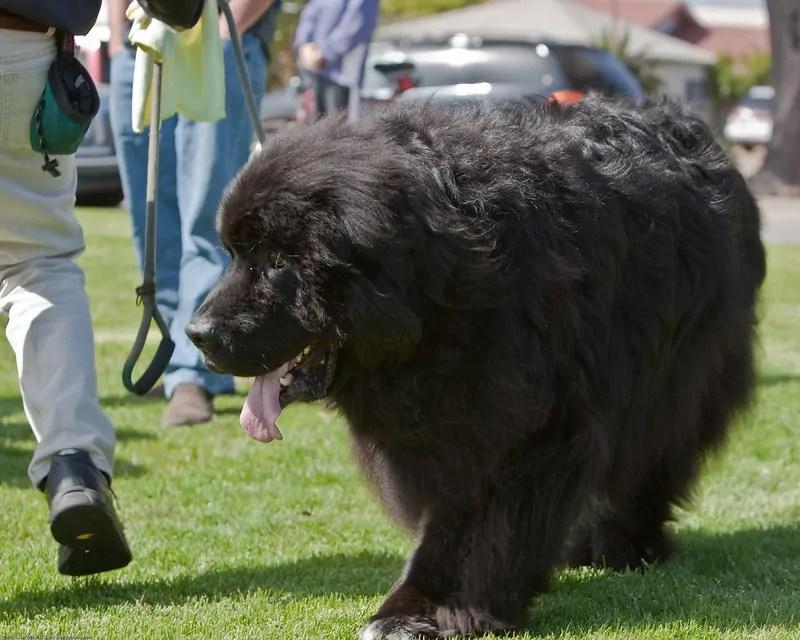 Newfoundland dog animal big fluffy dog