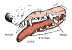Dogs Age By Teeth: Determine The Age Of A Dog By It's Teeth