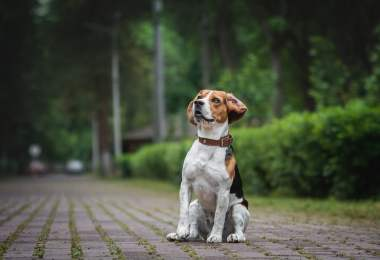 Beagle Dog Breed Information, Characteristics, Photos, Facts