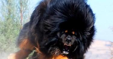 Tibetan Mastiff Dog Breed